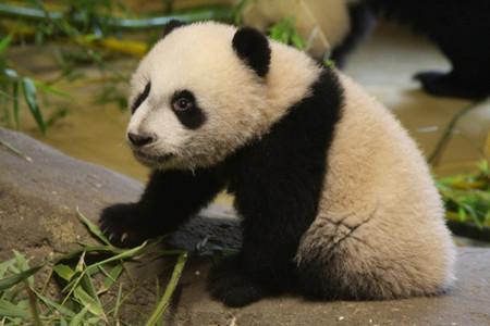 Primera salida a la pagoda de Hua Zui Ba y de Xing Bao en el Zoo Aquarium de Madrid