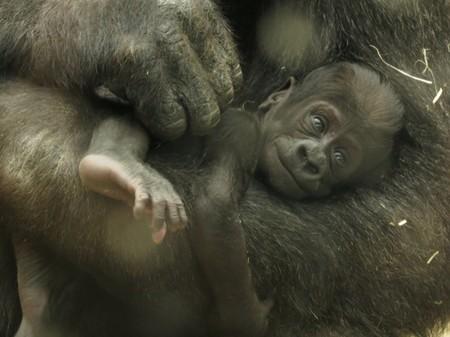 La cría de gorila de Zoo Aquarium de Madrid se llamará Gaika