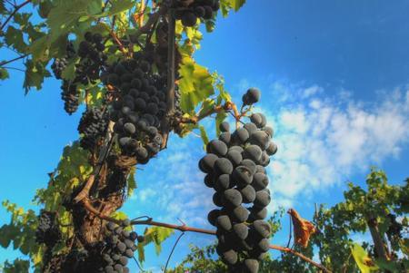 Uvas sin pepitas. Buscando la fruta perfecta...