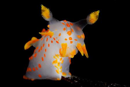 Nudibranchs Fredrik Ehrenstrom Polycera Quadrilineata