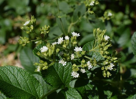 Stevia Flowers Against Rose Leaves Buds Flower Blossom