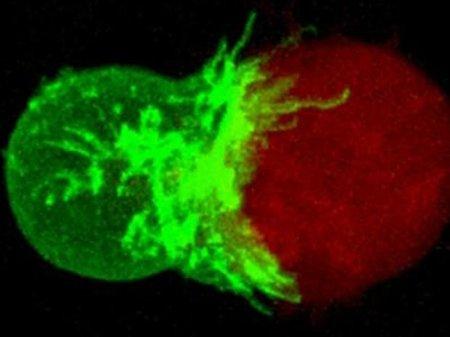 Investigadores mexicanos y europeos crearán células dendríticas artificiales