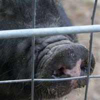 Se reaniman con éxito cerebros muertos de cerdos