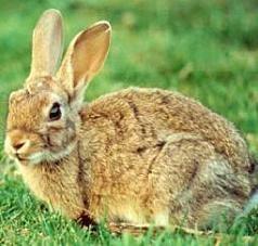 El culebrón de la carne de conejo