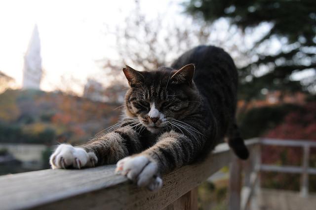 Gato estirándose