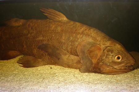 celacanto-pez-extincion