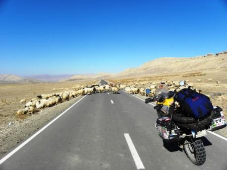 Iran Sheep