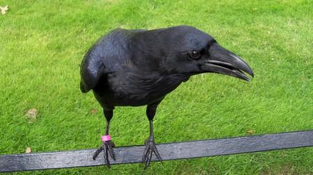 Crow 2746119 1920