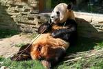 Celebración de los cumpleaños de los osos pandas en Madrid
