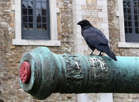 raven cannon