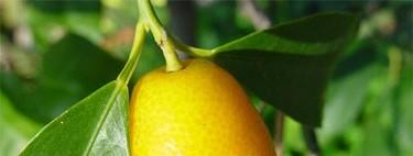 El kumquat, un tesoro de Asia