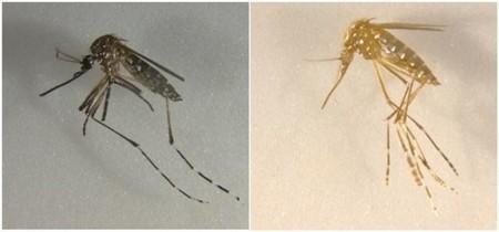 ¿Cómo evitar la propagacción de enfermedades infecciosas? Creando mosquitos sin alas