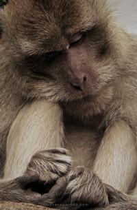 El genoma del Macaco Rhesus