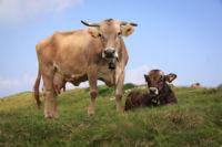Las vacas, los cerdos y las ovejas son cada vez más grandes