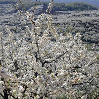 Los cerezos del Jerte están a punto de florecer y habrá rutas gratuitas para verlos