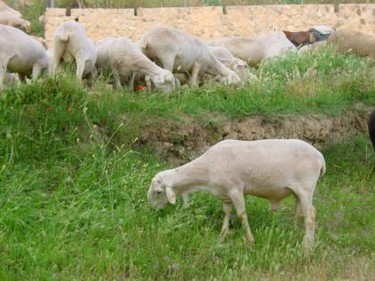 El cordero segureño, raza autóctona de la región de Murcia