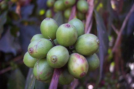 granos de café verde