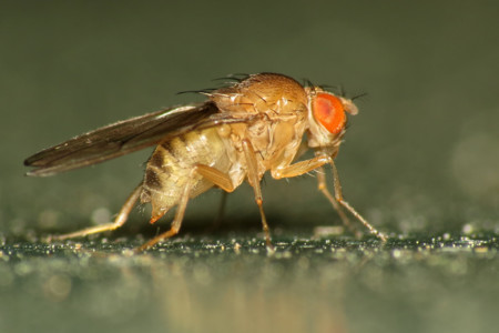 Fruit Fly Drosophila Immigrans 13114869053