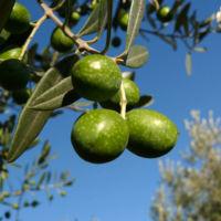 Los extractos de olivo de Klorane: mi nueva juventud capilar en 30 segundos