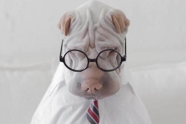 ¿Te gustan las mascotas? Morirás de amor con el Instagram de este Shar Pei llamado Paddington