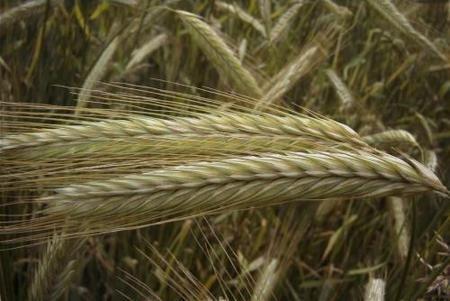 Los cereales en la alimentación infantil: el centeno