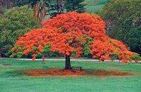 El rojísimo flamboyant, el árbol de cuento de hadas