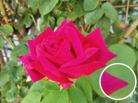 Rosa Redmi 7a