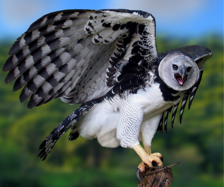 Aguila Harpia 3