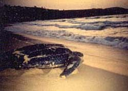 Tortugas gigantes y turistas conviven en las playas de Puerto Rico