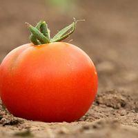 Por fin tenemos un plan para recuperar el sabor de los tomates