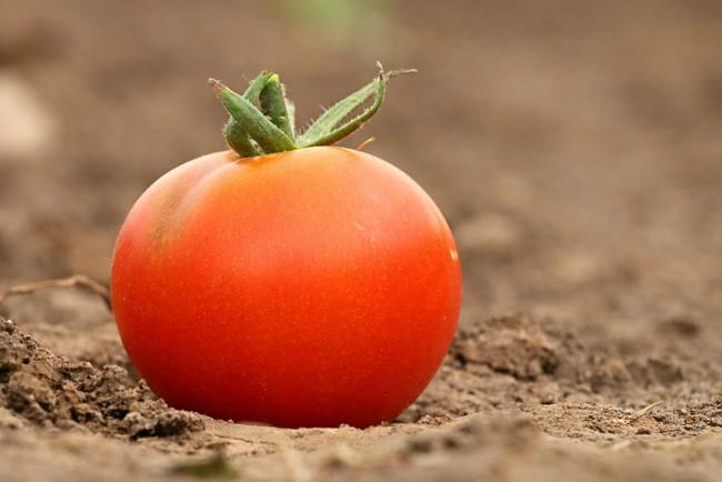 Tomato 1531584 1920