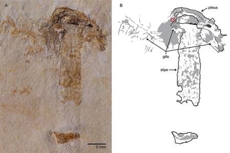 Se halla el Brasil el hongo más antiguo del mundo: 115 millones de años