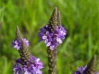 La verbena, una hierba que sirve para más que subirnos el ánimo