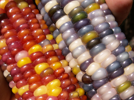 Maiz Multicolor 2