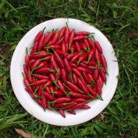 ¿Por qué nos gusta el chile? Un investigador mexicano pretende descubrirlo