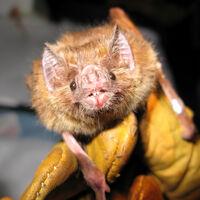 Varias de las últimas pandemias humanas han venido de los murciélagos y no tenemos ni idea de por qué