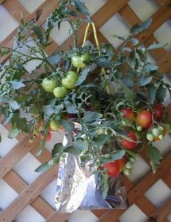 Tomates cultivados en bolsas