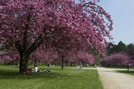 Cerisier En Fleur Olivier Ravoire 500