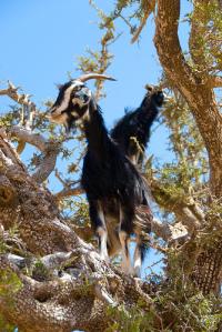 cabras aceite de argán