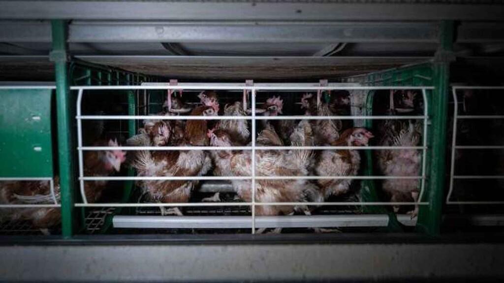 La UE quiere acabar con la cría en jaula para 2027. Sólo el precio de los huevos subiría un 20%