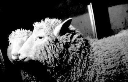 ¿Animales clonados para producir alimentos?