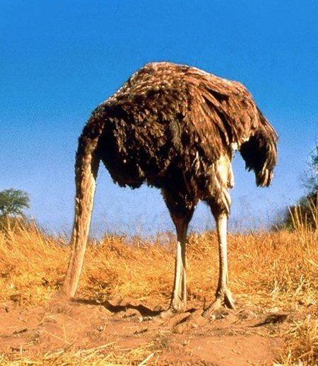 avestruz-avestruces-cabeza-enterrar-bajo-tierra.jpg