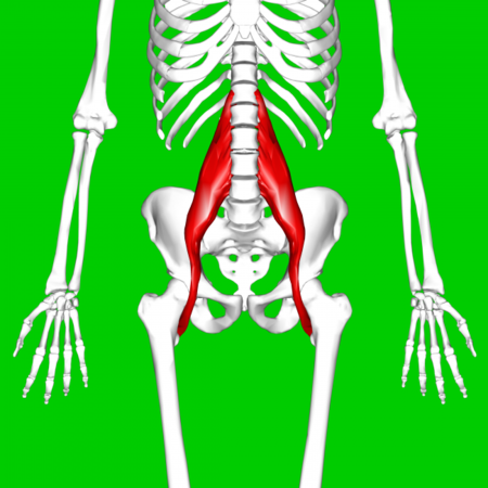 Psoas Major Muscle11