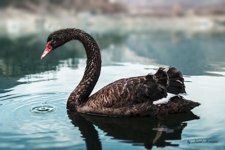 Black Swan Bg