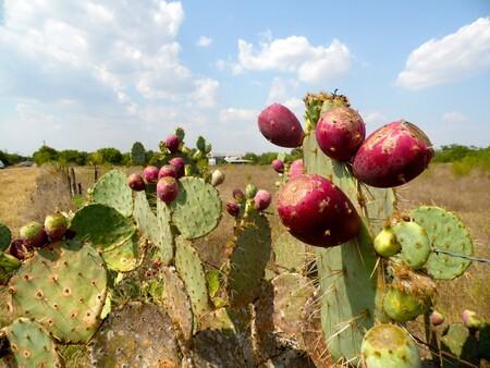 Nopal: ingrediente esencial que forma parte de la identidad de México con múltiples beneficios para la salud y la alimentación