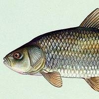 Este pez que nació antes de la Primera Guerra Mundial tiene el récord de longevidad