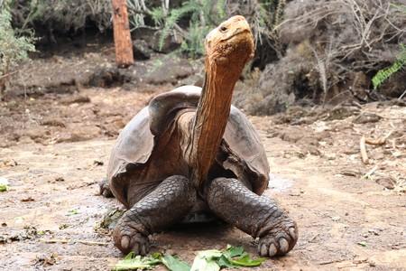 La extrema actividad sexual de esta tortuga ha evitado la extinción de su especie