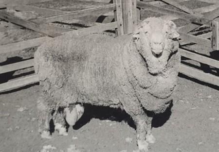 Semen congelado hace 50 años ha logrado fecundar a ovejas