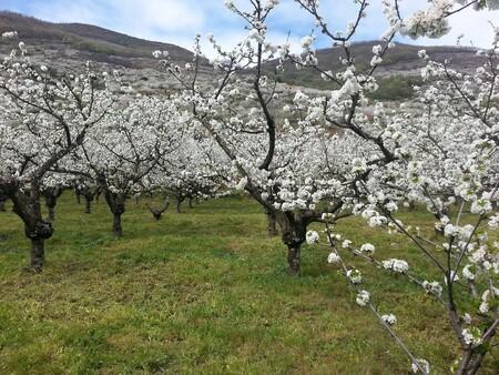 Cherry Trees 735418 1920