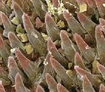 Identificados unos canales microscópicos en las papilas gustativas para potenciar la identificación del sabor